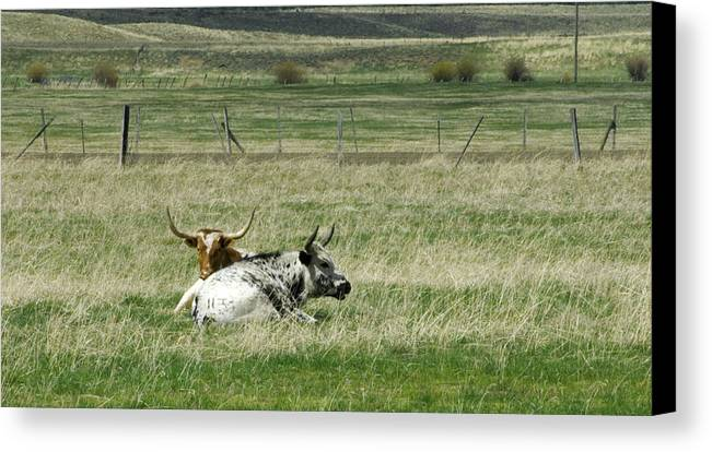 Steer Canvas Print featuring the photograph By The Horns by Sara Stevenson