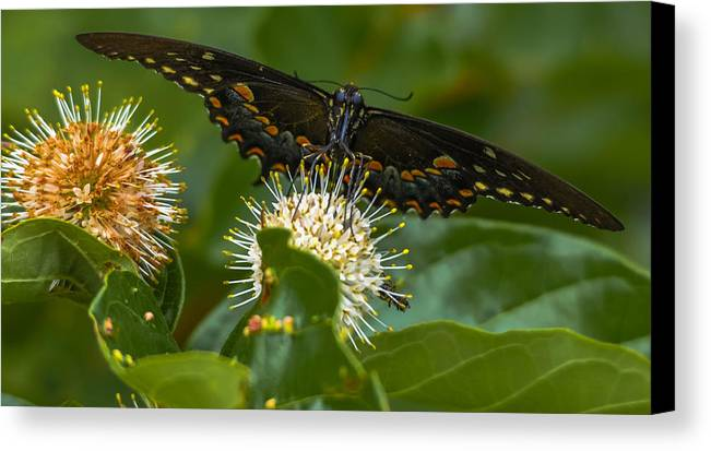 Canvas Print featuring the photograph Sky Skipper by Brian Stevens