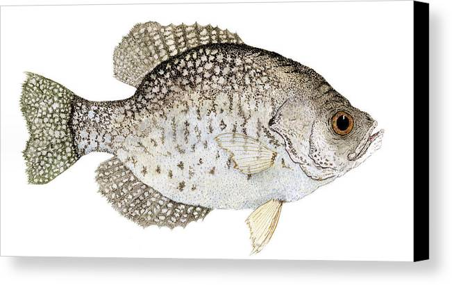Crappie Canvas Print featuring the painting Study Of A Black Crappie by Thom Glace