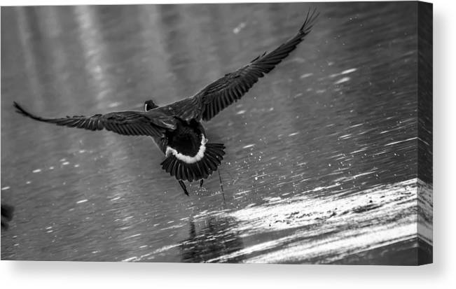 Canvas Print featuring the photograph Canada Goose by Brian Stevens