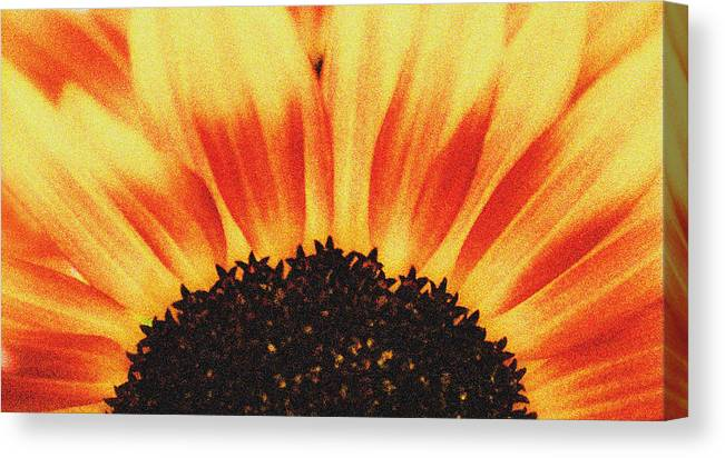Sunflower Canvas Print featuring the photograph Sunflower Rise by Ari Jacobs