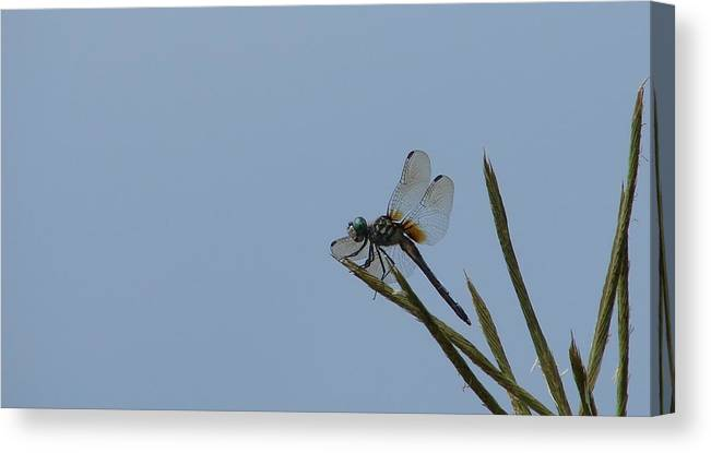 Dragonflies Canvas Print featuring the photograph Blue Dasher Female by Bruce W Krucke