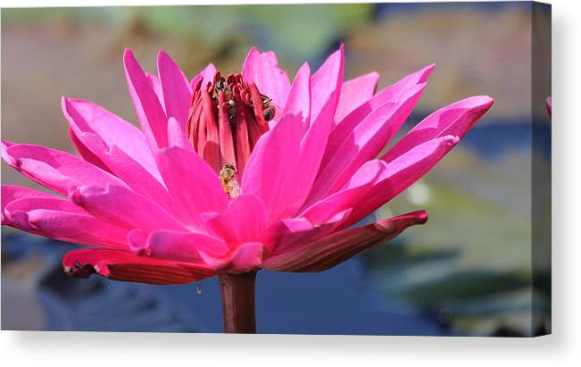 Flower Canvas Print featuring the photograph Pink Lilly by Sean Allen