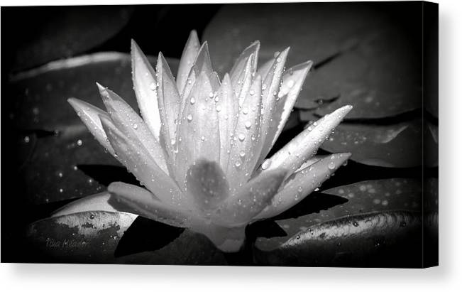 Black Canvas Print featuring the photograph White Lily by Tina Meador