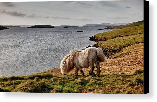Shetland Canvas Print featuring the photograph Shetland Pony At Shore Shetland by John Short
