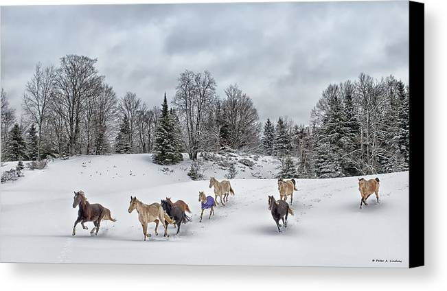 Rocky Mountain Horse Canvas Print featuring the photograph Winter Run by Peter Lindsay