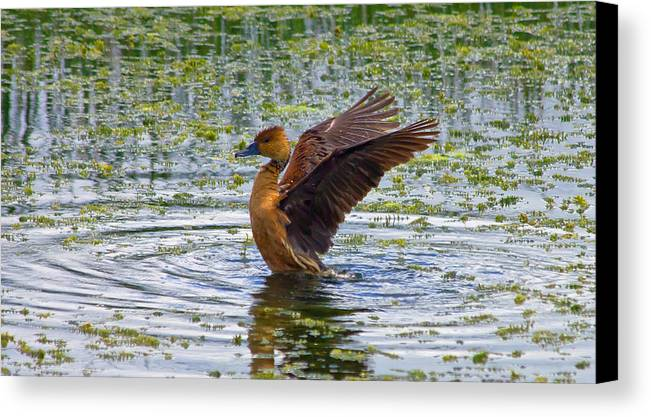 Fulvous Whistling Duck Canvas Print featuring the photograph Bath Time by Wild Expressions Photography