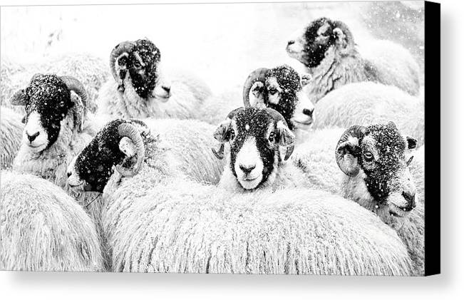 Swaledale Canvas Print featuring the photograph In Winters Grip by Janet Burdon