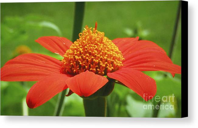 Flower Canvas Print featuring the photograph Golden Crown On Red by Robert Knight