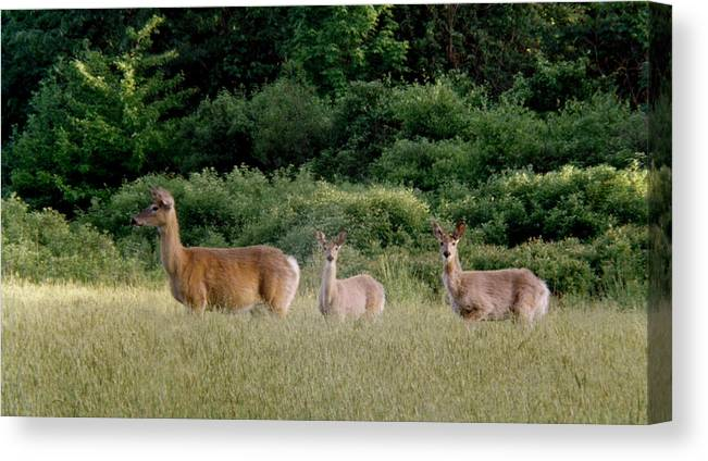 Deer Canvas Print featuring the photograph 072506-3 Out For A Walk With The Twins by Mike Davis