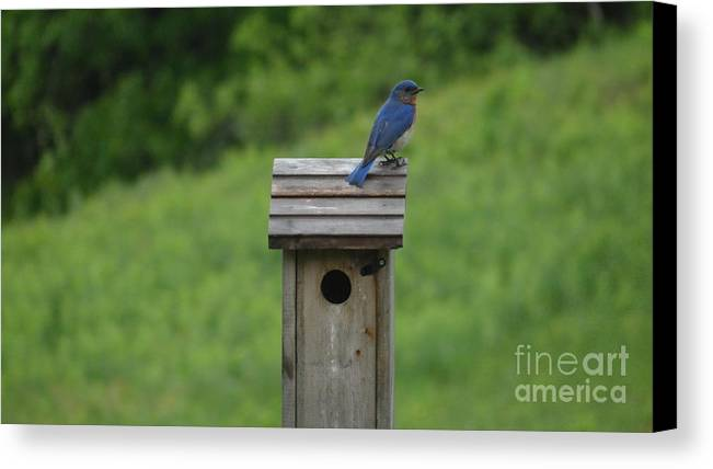 Male Bluebird Canvas Print featuring the photograph A Summer Day by Russell Mckenney
