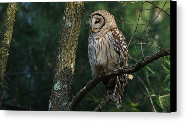 Barred Owl Canvas Print featuring the photograph Catching Some Zzz's by William Fox