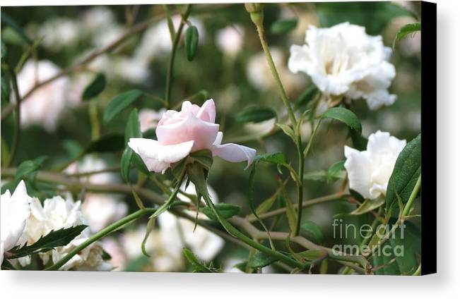 Flower Canvas Print featuring the photograph Delicate As A Rose by Anita Adams