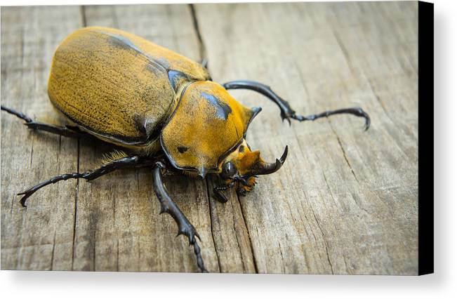 Animal Canvas Print featuring the photograph Elephant Beetle by Aged Pixel