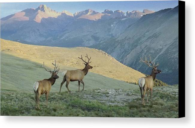 Elk Canvas Print featuring the photograph Elk Surprise.. by Al Swasey