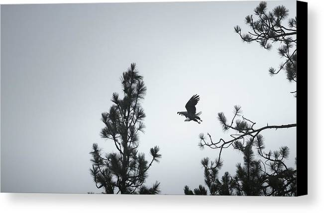 Eagle Canvas Print featuring the photograph Flight Of The Raptor by Robi Castaneda