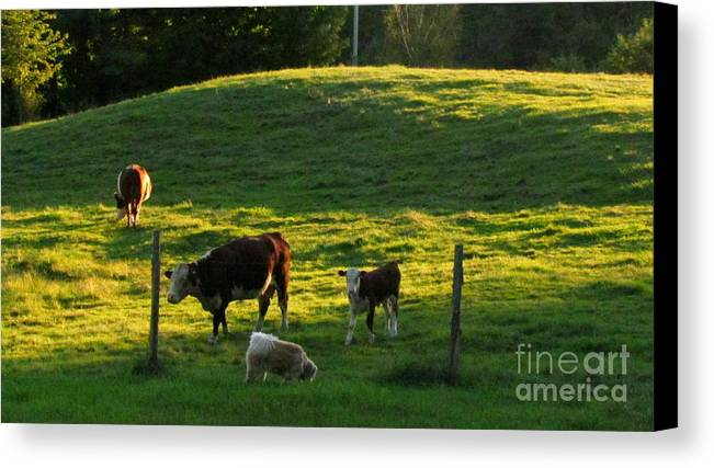 Cows Canvas Print featuring the photograph In The Field by Randi Shenkman