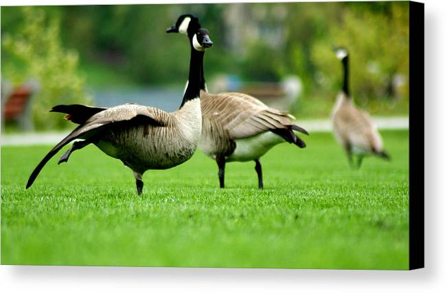 Canada Goose Canvas Print featuring the digital art Morning Stretch by Anita Braconnier