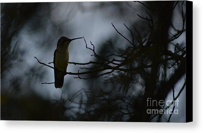 Tiwago Canvas Print featuring the photograph Ruby-throat And Pine by Photography by Tiwago