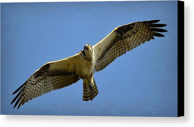 Osprey Canvas Print featuring the photograph Hunter From Above by Fraida Gutovich