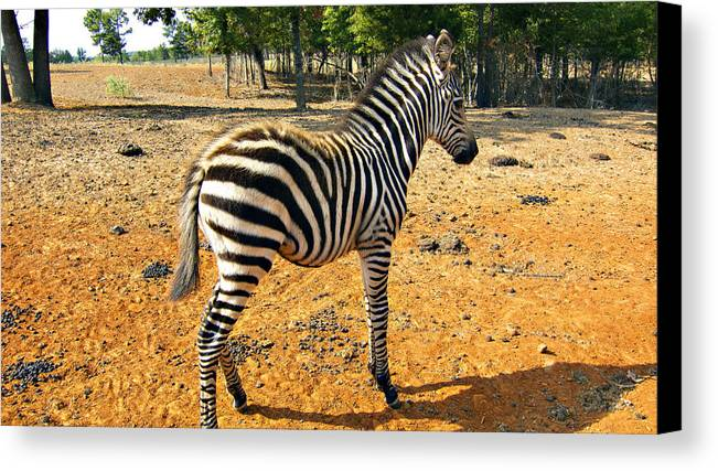 Juvenile Zebra Canvas Print featuring the photograph Little Stripes by Douglas Barnard