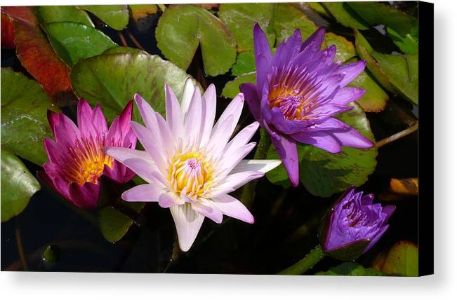 Lotus Canvas Print featuring the photograph Lotus Colors by Gregory Smith