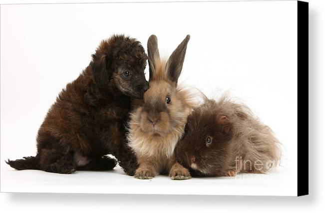 Nature Canvas Print featuring the photograph Red Merle Toy Poodle Pup, Guinea Pig by Mark Taylor