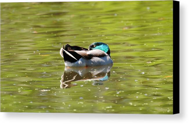 Ducks Canvas Print featuring the photograph Snoozing by John Blanchard