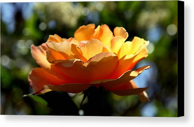 Roses Canvas Print featuring the photograph The Bronze Star by Karen Wiles