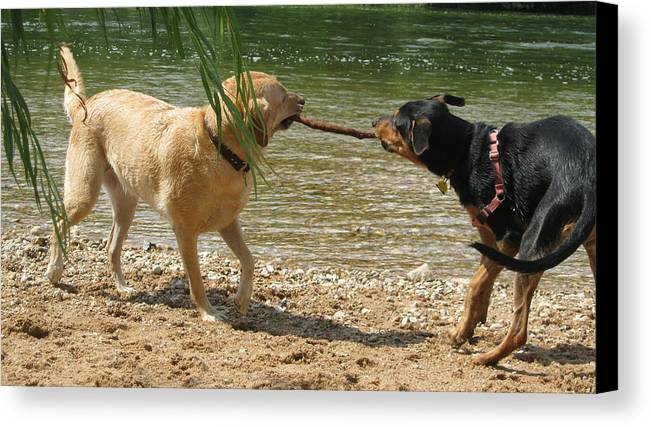 Two Dogs Canvas Print featuring the photograph Tug Of War by Diana Ogaard