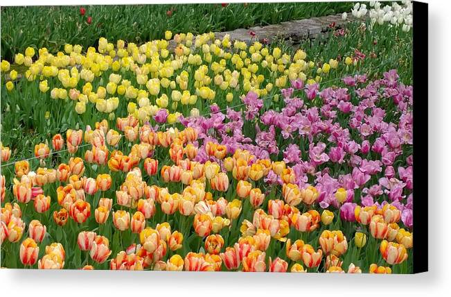 Tulips. Cheekwood Gardens Canvas Print featuring the photograph Tulips Galore by Gayle Miller