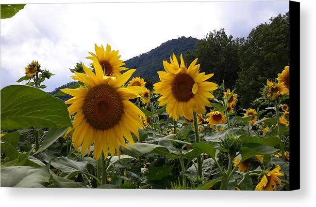 Flowers Canvas Print featuring the photograph Blue Ridge Sunflowers by Joe D Dry