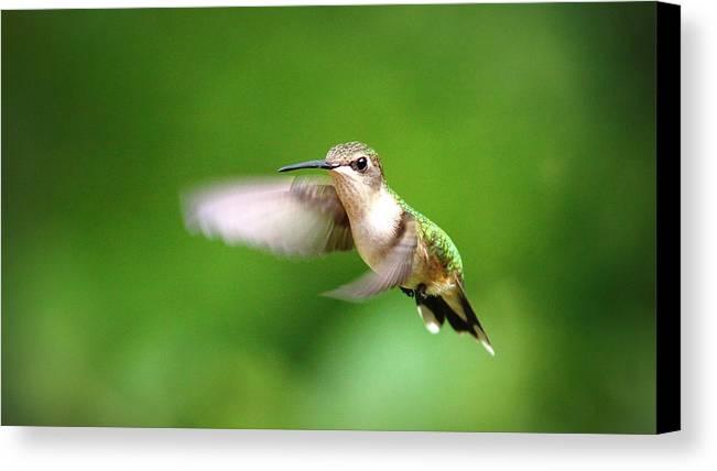 Ruby-throated Hummingbird Canvas Print featuring the photograph Img_7512 - Ruby-throated Hummingbird by Travis Truelove