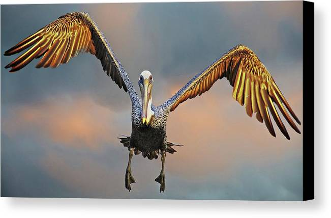 Nature Canvas Print featuring the photograph Incoming II, California Brown Pelican by Flying Z Photography by Zayne Diamond