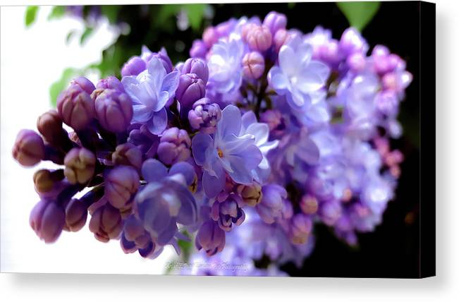 Flower Canvas Print featuring the photograph Lilac Flower by Ewelina Pop