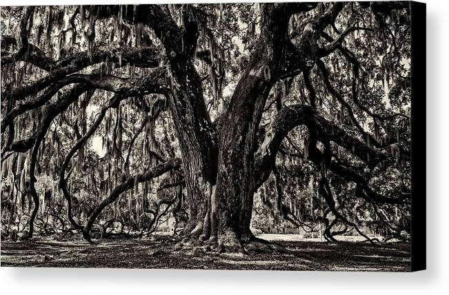 Majestic Oak Canvas Print featuring the photograph Majestic Oak Bw by Heather Applegate