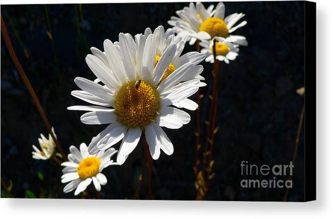 Flowers Canvas Print featuring the photograph Mountain Daisy by Larry Keahey
