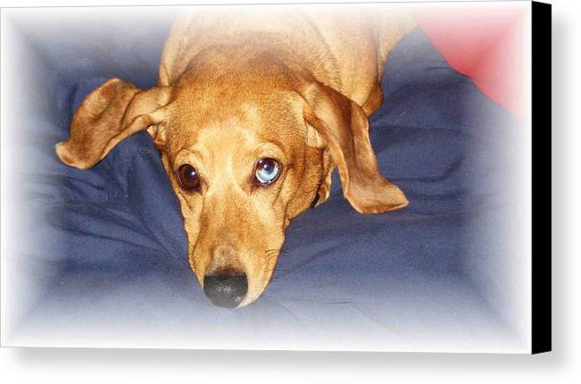 Dachshund Canvas Print featuring the photograph One Blue Eye by Nelson Strong