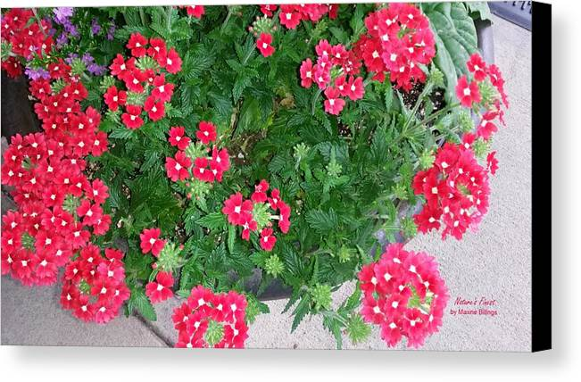 Container Gardening Canvas Print featuring the photograph Red Punch by Maxine Billings