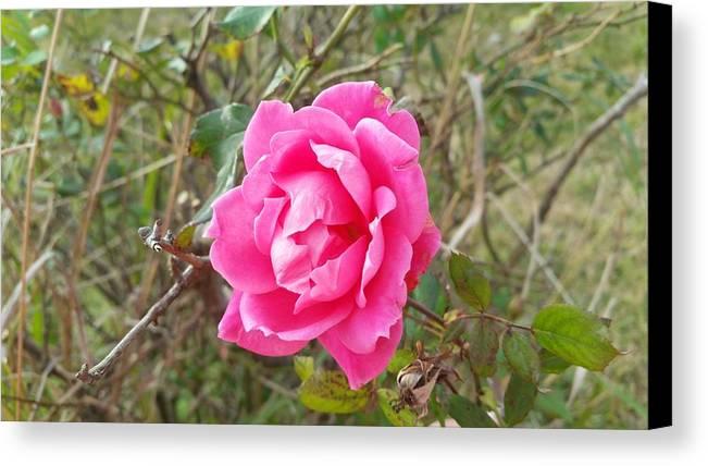 Rose Canvas Print featuring the photograph Rose 5 by Adele Fulcher