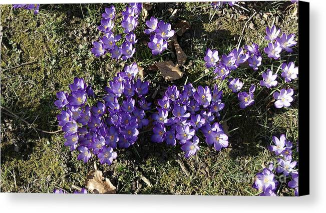 Spring Crocus Canvas Print featuring the photograph Spring 3 by LDS Dya