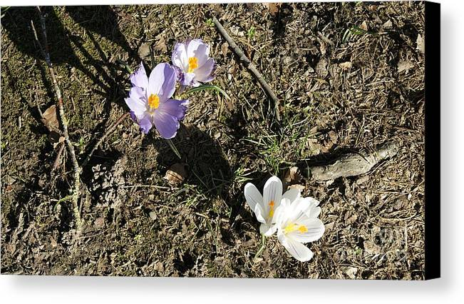 Spring Crocus Canvas Print featuring the photograph Spring Crocus by LDS Dya
