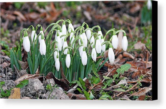 Spring Canvas Print featuring the photograph Spring Has Sprung by JoAnne McNamara