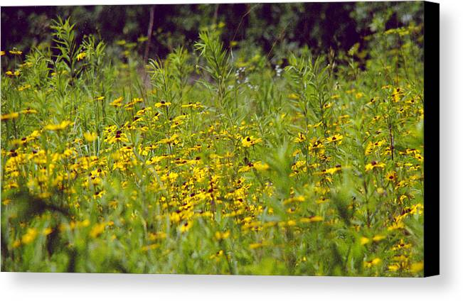Nature Canvas Print featuring the photograph Susans In A Green Field by Randy Oberg