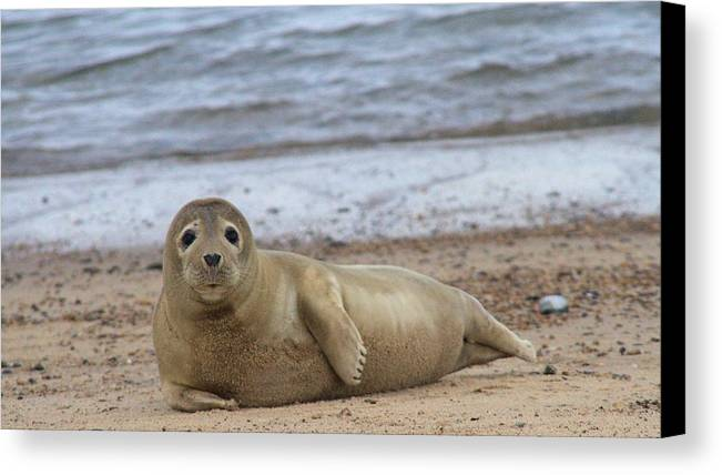 Seal Canvas Print featuring the photograph Young Seal Pup On Beach - Horsey, Norfolk, Uk by Gordon Auld