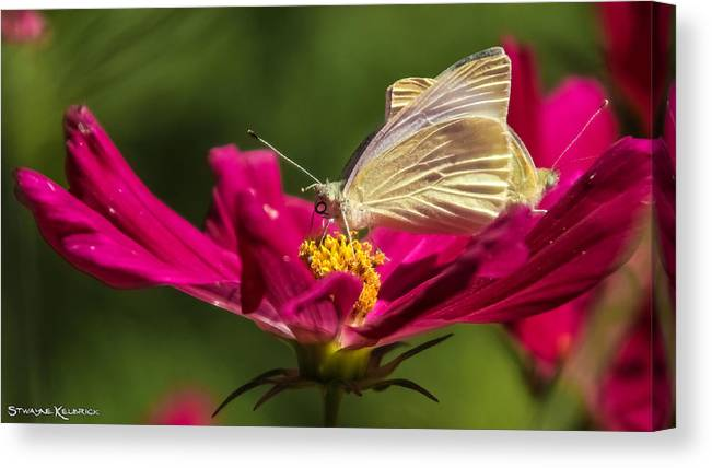 Butterfly Canvas Print featuring the photograph A Georgous Butterfly Macrophotography by Stwayne Keubrick