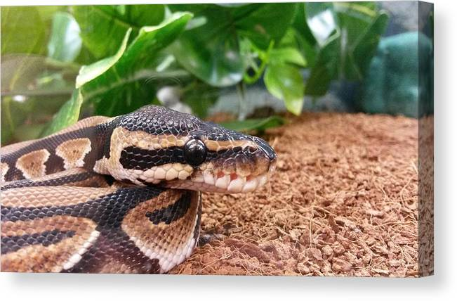 Snake Canvas Print featuring the photograph Baby Ball Python by Sierra Keith