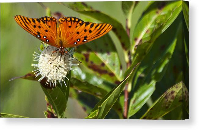 Butterfly Canvas Print featuring the photograph Gulf Fritillary by Don Durfee