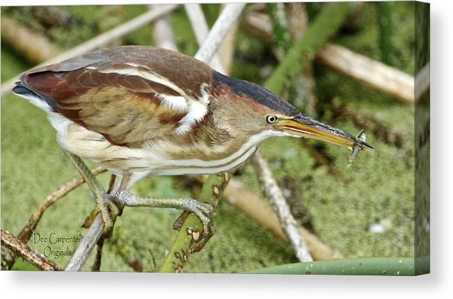 Least Canvas Print featuring the photograph Least Bittern Female Feeding by Dee Carpenter