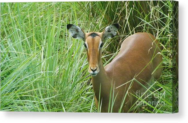 Impala Canvas Print featuring the photograph Standing In The Grass Impala Antelope by Kevin Sweeney